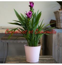 tulipe du Siam