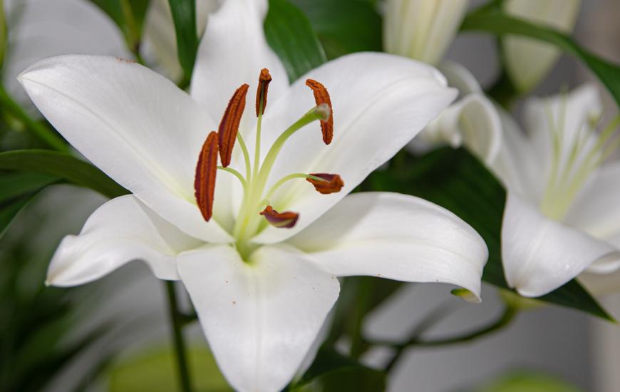 Le Lys (Lilium)
